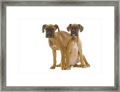 Boxer Puppy Dogs Framed Print by Jean-Michel Labat
