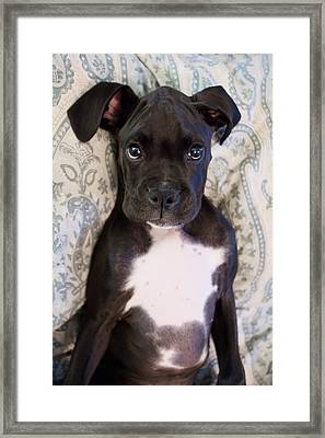 Boxer Puppy Laying In Bed Framed Print by Stephanie McDowell