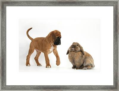 Boxer Puppy With Lionhead-lop Rabbit Framed Print by Mark Taylor
