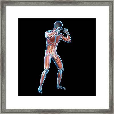 Boxer Framed Print by Sebastian Kaulitzki