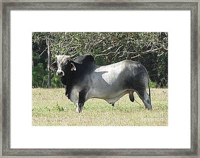 Brahama Bull Framed Print by Fortunate Findings Shirley Dickerson