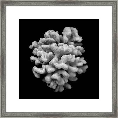 Brain Coral Framed Print by Jim Hughes