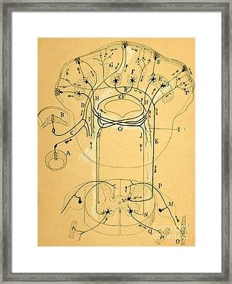 Brain Vestibular Sensor Connections By Cajal 1899 Framed Print by Science Source