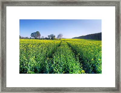 Brassica Napus Framed Print by EXparte SE