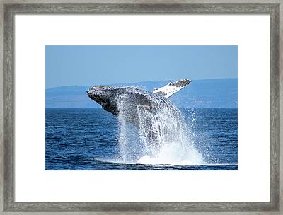 Breaching Humpback Framed Print by Deana Glenz