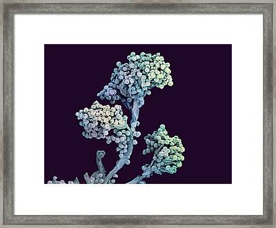 Bread Mould Conidiophore Framed Print by Ami Images