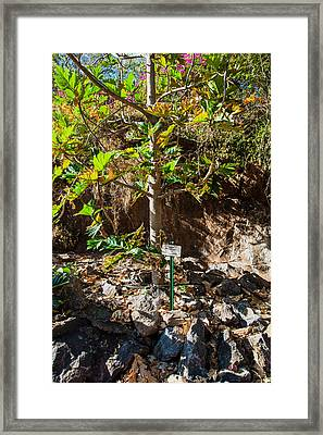 Breadfruit Tree Framed Print by Omaste Witkowski