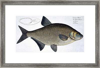 Bream Framed Print by Andreas Ludwig Kruger
