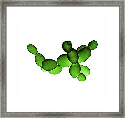 Brewers Yeast Sem Framed Print by David M. Phillips