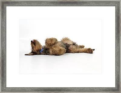 Briard Puppy Dog Framed Print by John Daniels