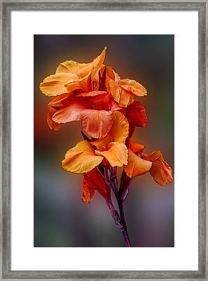Bright Canna Lily Framed Print by Linda Phelps