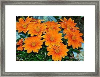 Bright Orange Daisy Garden By Kaye Menner Framed Print by Kaye Menner