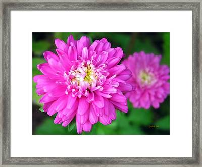 Bright Pink Zinnia Flowers Framed Print by Christina Rollo