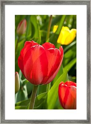 Bright Red Tulip Framed Print by Karol Livote