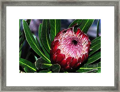 Bright'n'happy Protea Framed Print by Kaye Menner