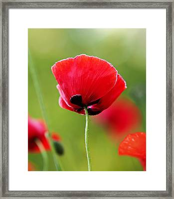 Brilliant Red Poppy Flower Framed Print by Rona Black