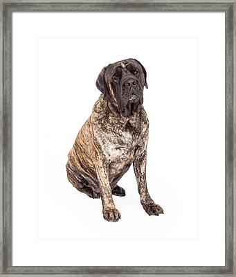 Brindle English Mastiff Dog Sitting Framed Print by Susan  Schmitz