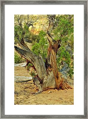 Bristlecone 1 Framed Print by Marty Koch