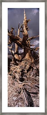 Bristlecone Pine Tree Pinus Longaeva Framed Print by Panoramic Images
