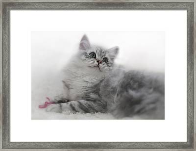 British Longhair Kitten Framed Print by Melanie Viola