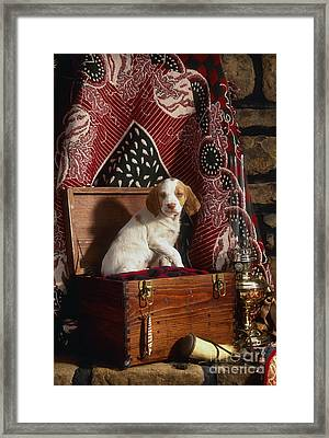 Brittany Pup - Fs000048 Framed Print by Daniel Dempster