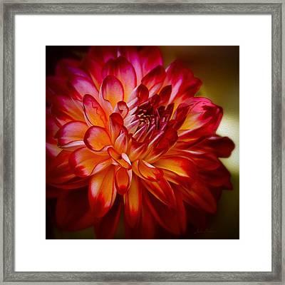 Brittany Red Dahlia Framed Print by Julie Palencia