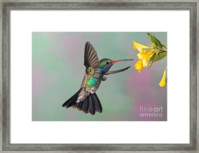 Broad-billed Hummingbird Framed Print by Jim Zipp