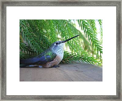 Broad-tailed Hummingbird At Rest Framed Print by Julie Magers Soulen