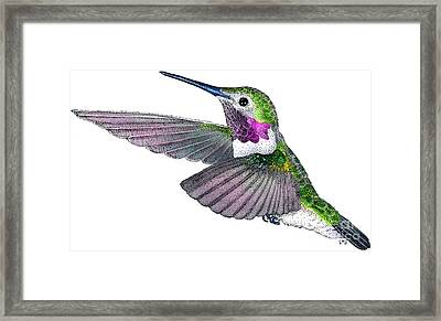 Broad-tailed Hummingbird Framed Print by Roger Hall
