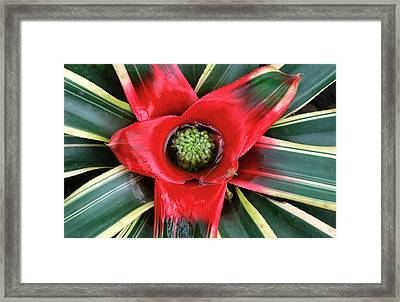 Bromeliad Abstract Framed Print by Nigel Downer