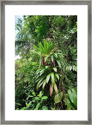 Bromeliad Growing In The Rainforest Framed Print by Susan Degginger