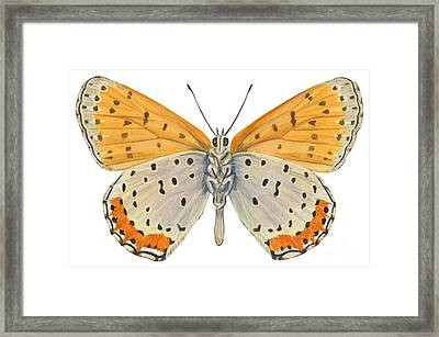 Bronze Copper Butterfly Framed Print by Anonymous