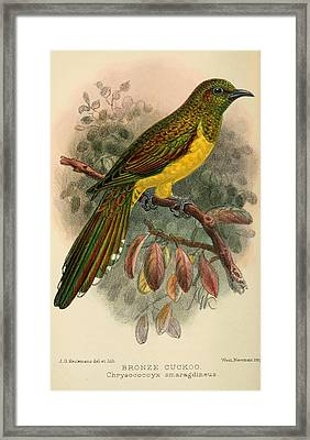 Bronze Cuckoo Framed Print by J G Keulemans