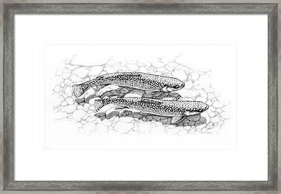 Brook Trout Pencil Study Framed Print by Jon Q Wright