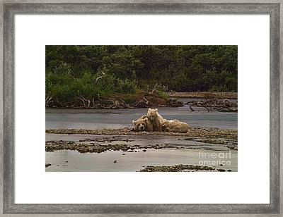 Brown Bear And Cubs Taking A Break From Fishing For Salmon Framed Print by Dan Friend