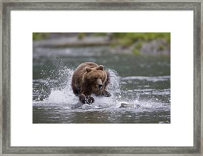 Brown Bear Chases Salmon In A Shallow Framed Print by Milo Burcham