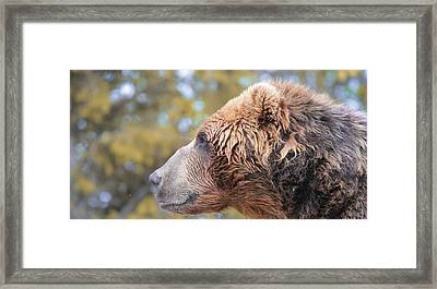 Brown Bear Portrait In Autumn Framed Print by Dan Sproul