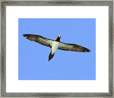 Brown Booby Framed Print by Tony Beck