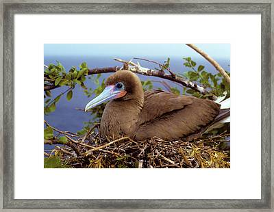 Brown Color Morph Of Red-footed Booby Framed Print by Thomas Wiewandt