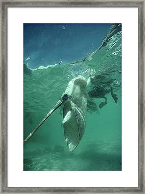 Brown Pelican Catching Mullet Framed Print by Tui De Roy