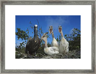 Brown Pelican Chicks Begging Galapagos Framed Print by Tui De Roy