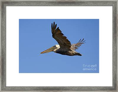 Brown Pelican Flight Framed Print by Mike  Dawson