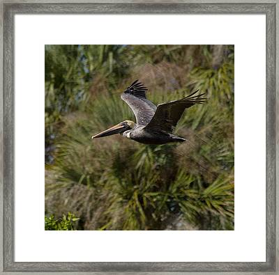 Brown Pelican - In Flight Framed Print by Kim Hojnacki