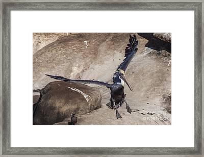 Brown Pelican Landing Framed Print by Darleen Stry