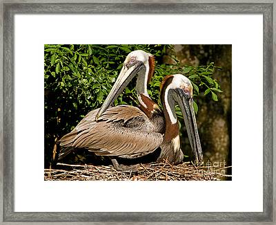 Brown Pelican Framed Print by Millard H. Sharp