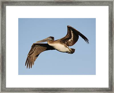 Brown Pelican Framed Print by Paulette Thomas