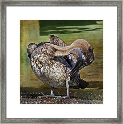 Brown Pelican Preening Framed Print by HH Photography of Florida