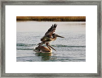 Brown Pelicans In The Marsh Framed Print by Paulette Thomas