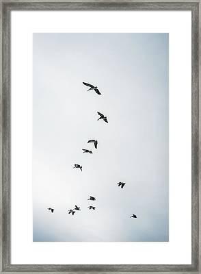 Brown Pelicans  Pelecanus Occidentalis Framed Print by Robert L. Potts