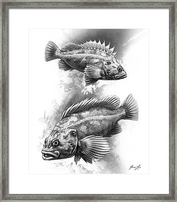 Brown Rockfish Pair Framed Print by Javier Lazo